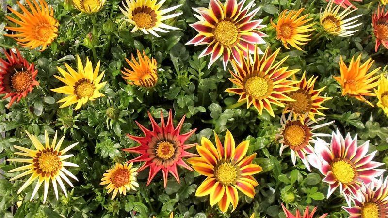 Gazania, qué es, características, reproducción, cultivo, planta