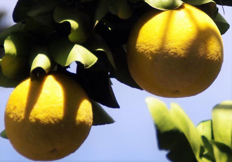 La Toronja, beneficios y propiedades, planta