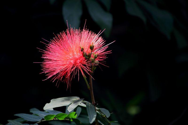 Albizia, acacia de constantinopla Características, hábitat Planta, árbol