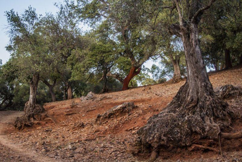 Alcornoque, características, propiedades, hábitat, floración, fruto Árbol