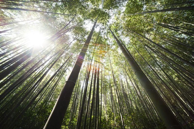 Bambú, características, propiedades, descripción Planta, caña