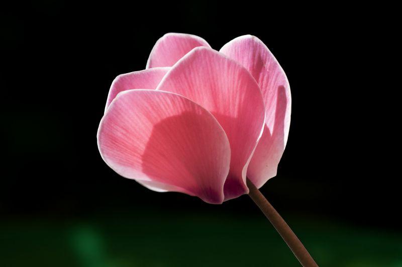 Ciclamen, características, cultivo, cuidados, origen Planta, flor