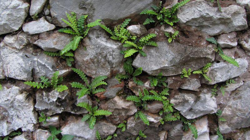 Doradilla, características, propiedades, planta medicinal, hierba