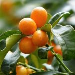 El kumquat
