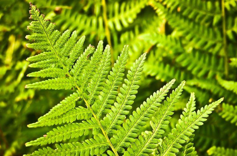 Helecho caracter sticas reproducci n cultivo planta - Cuidados de los helechos ...