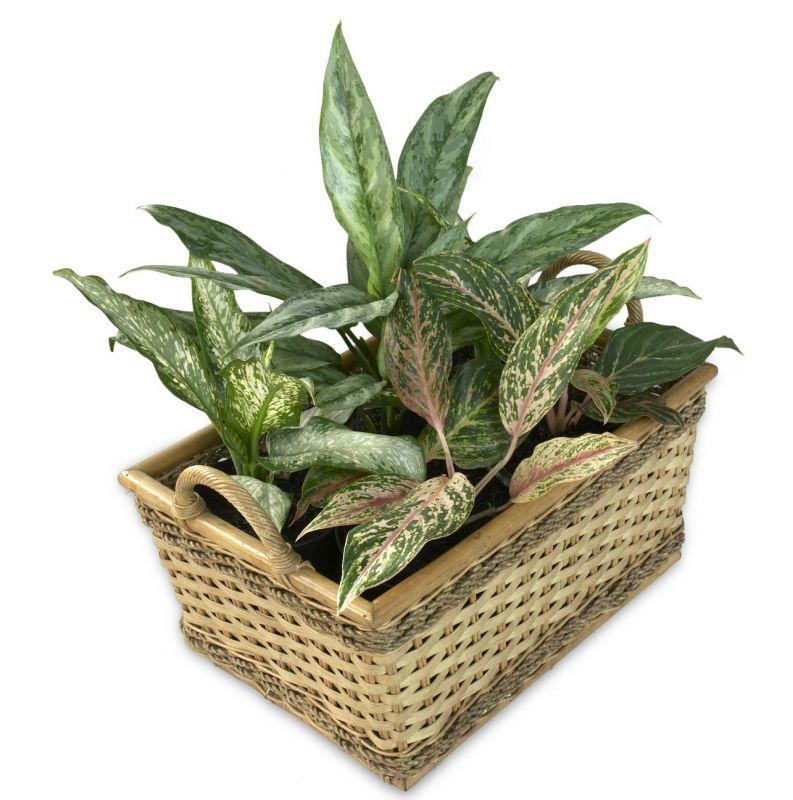 La aglaonema, características, cultivo, cuidados, reproducción Planta