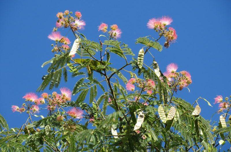 La albizia, árbol