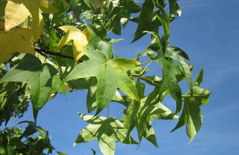 Liquidámbar, características, floración, cultivo, propiedades Árbol, planta