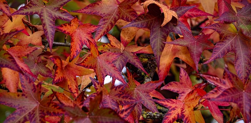 Liquid mbar caracter sticas floraci n cultivo for Arboles de hojas perennes para veredas
