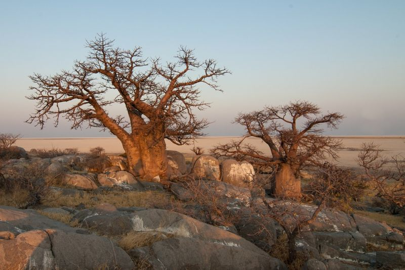 Baobab Características, especies, información Árbol