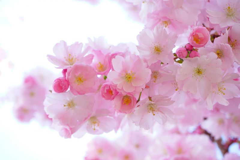 Cerezo Características, usos, fruto, información, flor Árbol ornamental