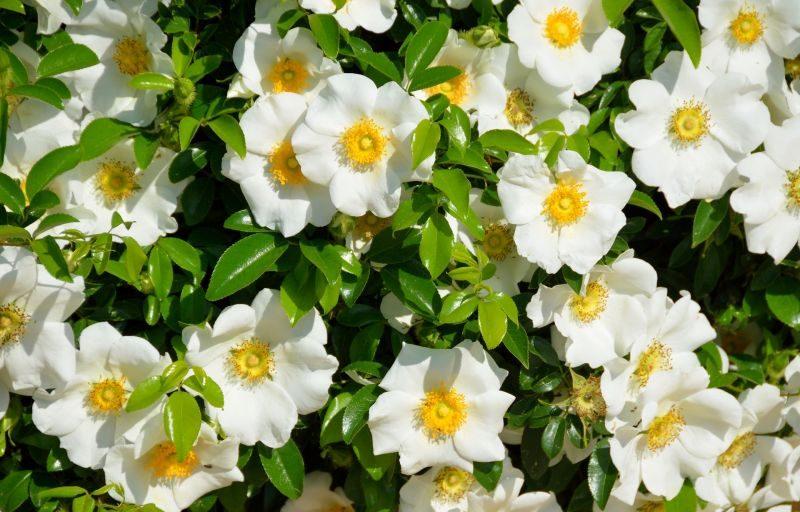 Gardenia thunbergia reproduccion asexual de las plantas