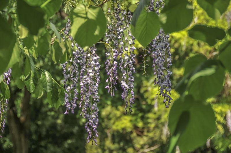 Glicina Características, cultivo, cuidados, reproducción Planta