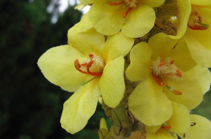 Gordolobo, características, beneficios, propiedades, floración Planta