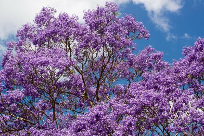 Jacaranda Mimosifolia Características, cuidados, usos Planta, árbol