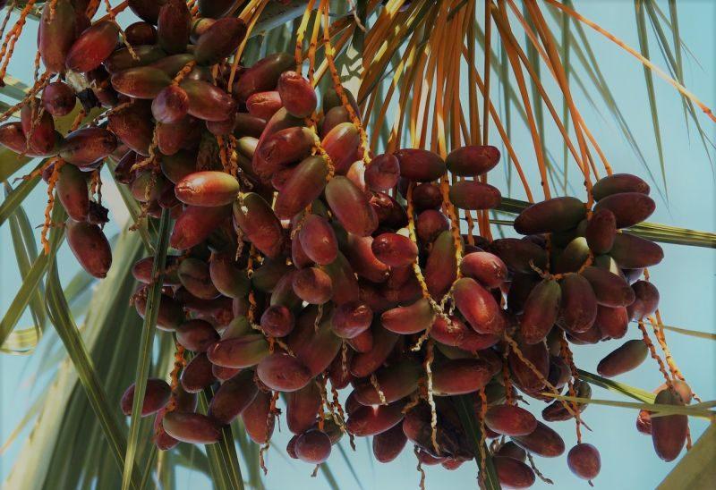 La palmera datilera