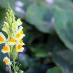 Linaria Características, beneficios, origen, usos, recetas Planta