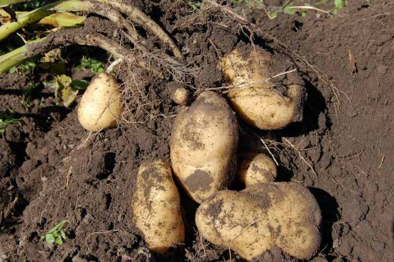 Patata Características, propiedades, cultivo, tipos Hortaliza