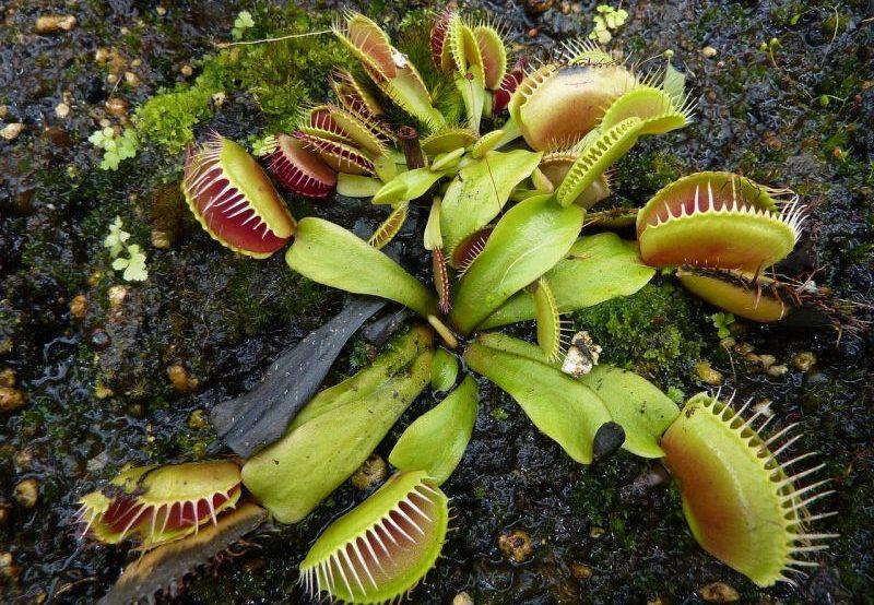 Plantas carnívoras Características, especies, información, hábitat Flores
