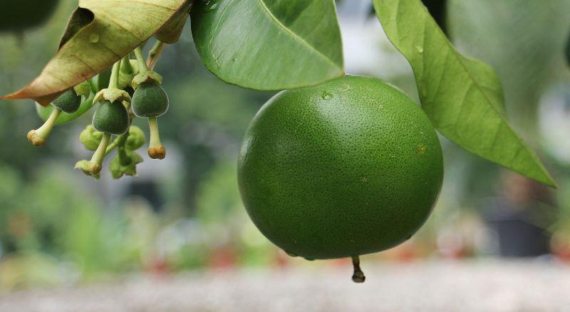 Pomelo Características, cultivo origen Árbol, fruta Pomelero