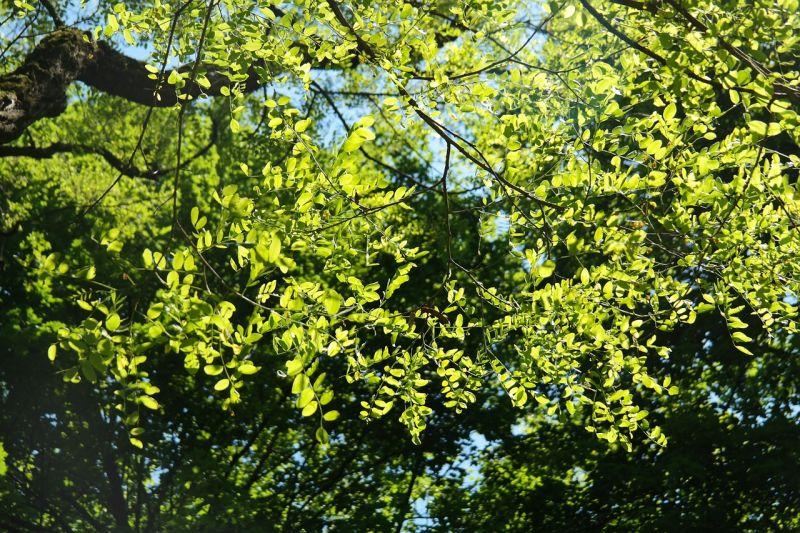Robinia Características, distribución, usos Falsa acacia Árbol