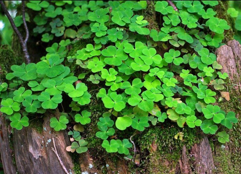 Trébol Características, usos, variedades, información Planta, hojas