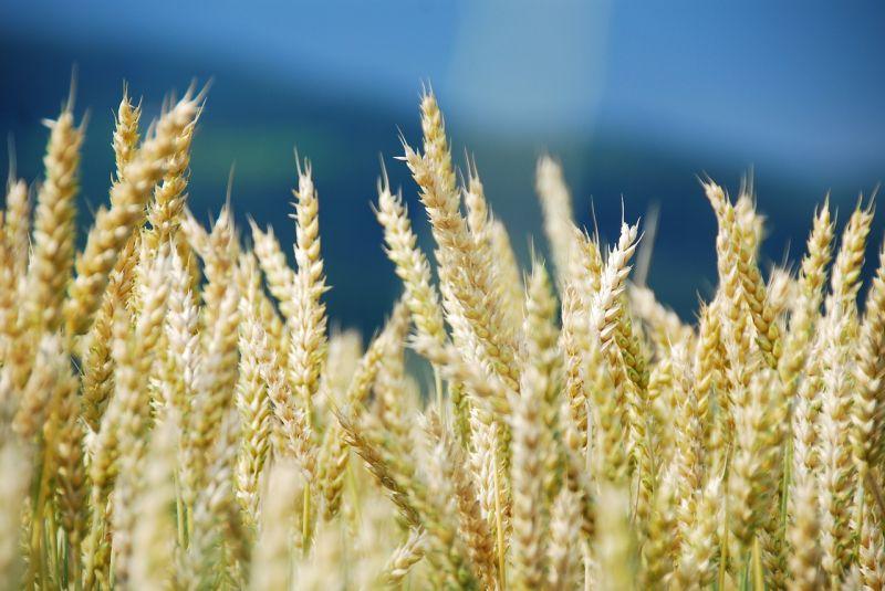 Trigo Características, usos, beneficio, cultivo, información Planta, grano