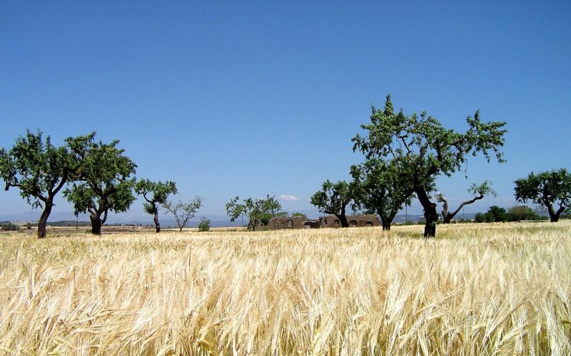 Acacia Características Hábitat Uso Ornamental Mimosa árbol