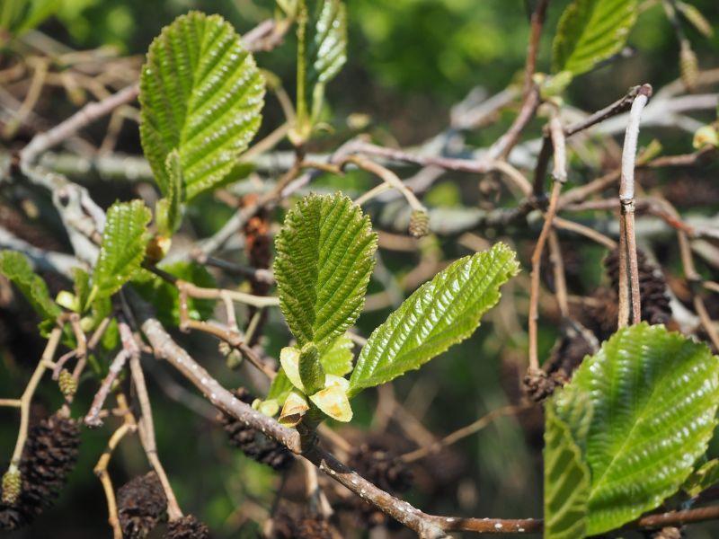 Aliso Características, raíces, propiedades medicinales Árbol, planta