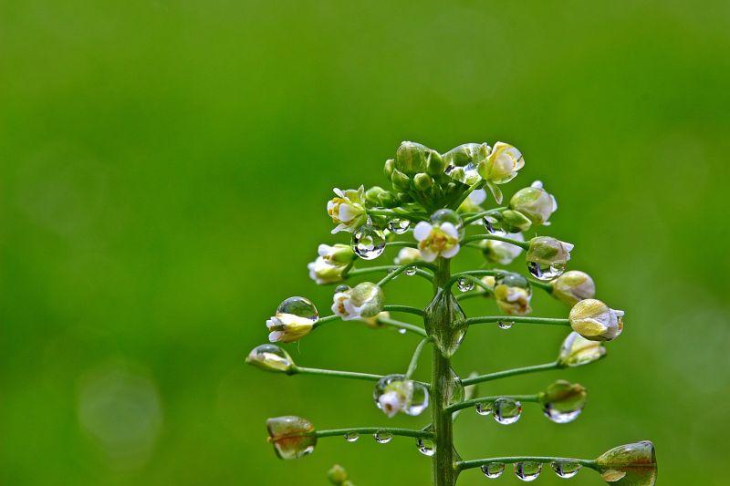 Bolsa de pastor Cultivo, cuidados, propiedades medicinales Planta