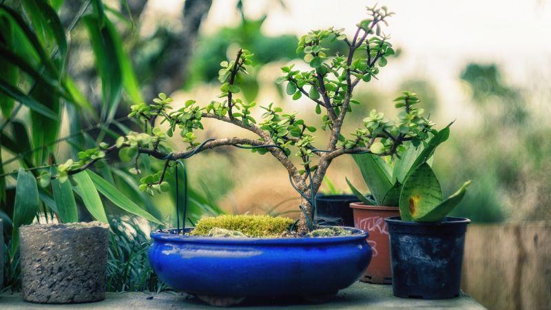 Bonsáis Origen, significado, cuidados, tipos, riego Árboles, plantas