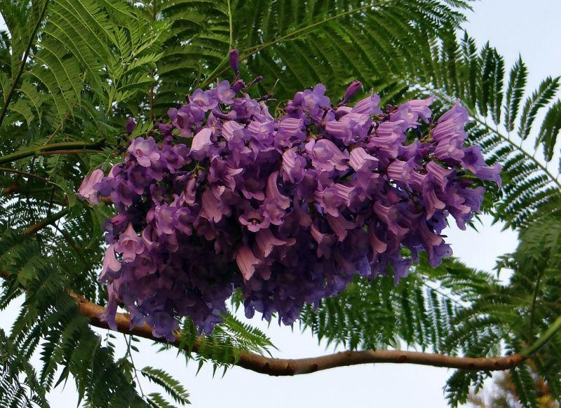 Jacarandá Cultivo, usos, aplicaciones, dónde vive, planta primaveral