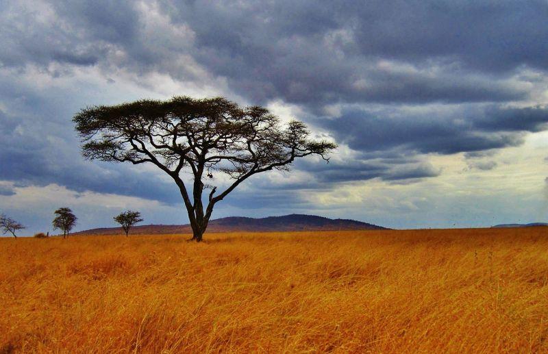 La acacia