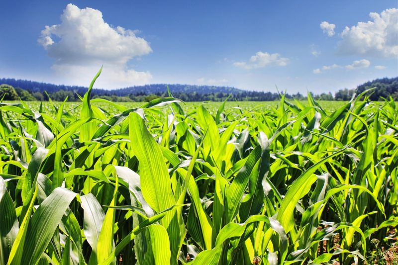 Maíz | Características, cultivo, beneficios y propiedades, usos | Planta