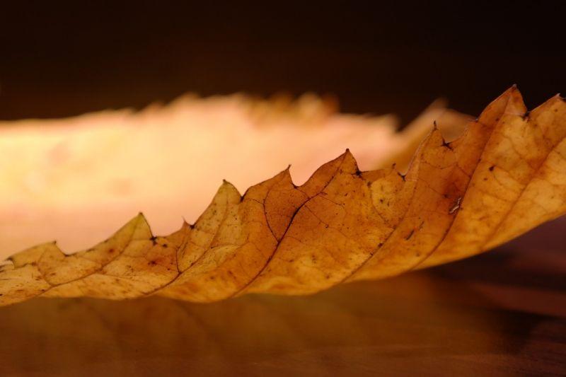Olmo Características, hábitat, usos y aplicaciones Árbol, hojas