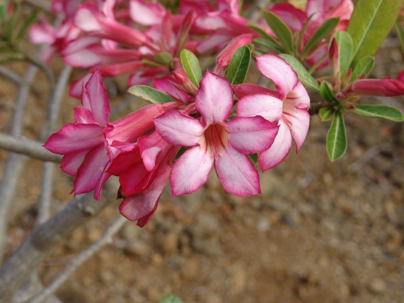 Rosa del desierto caracter sticas origen cuidados for Pianta rosa