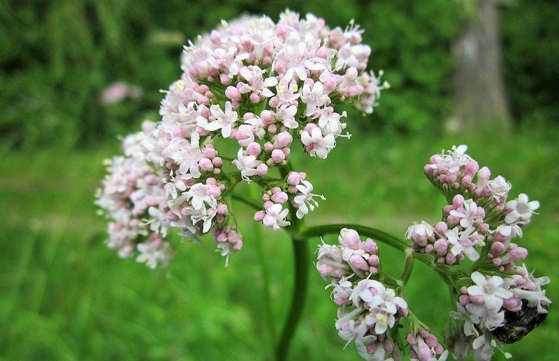 Valeriana Cultivo, propiedades medicinales, beneficios Planta
