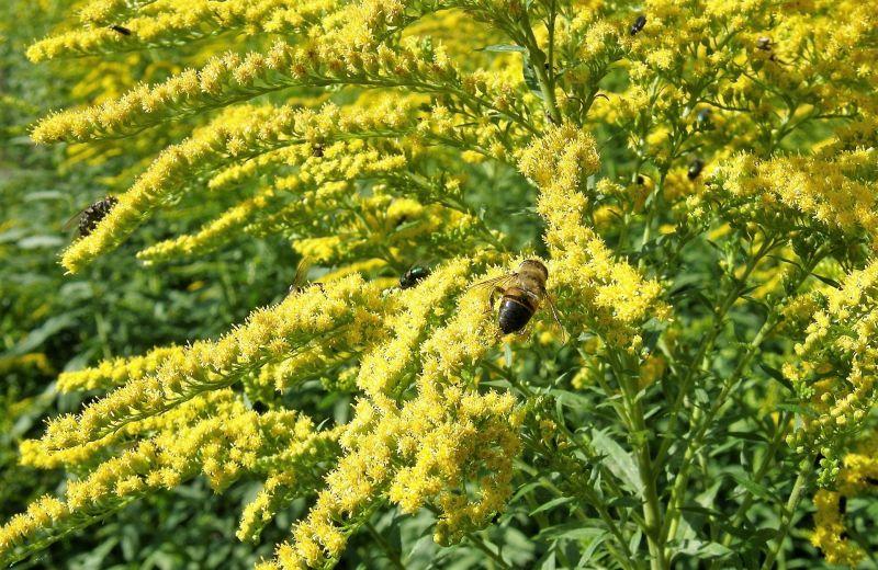 Vara de oro Características, cultivo, propiedades medicinales Planta