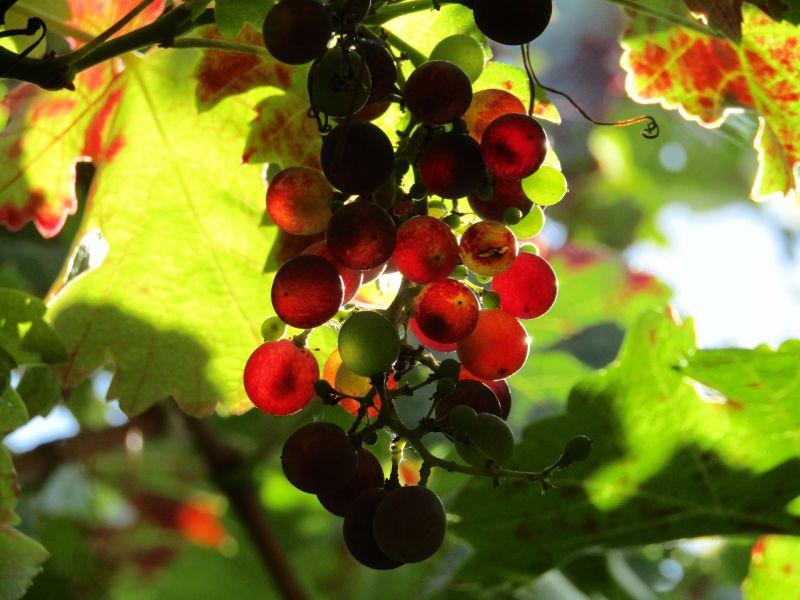 Vid roja Características, cultivo, economía, uva Planta
