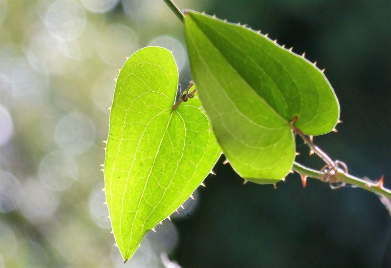 Zarzaparrilla Características, usos y propiedades medicinales Planta