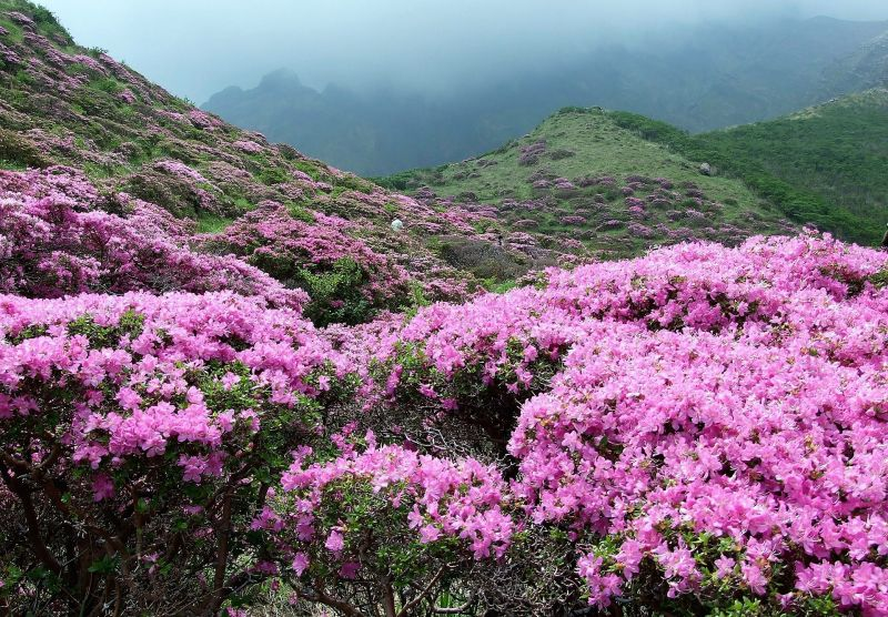Azalea caracter sticas toxicidad cultivo cuidados planta flor arbusto - Cuidado de azaleas en interior ...