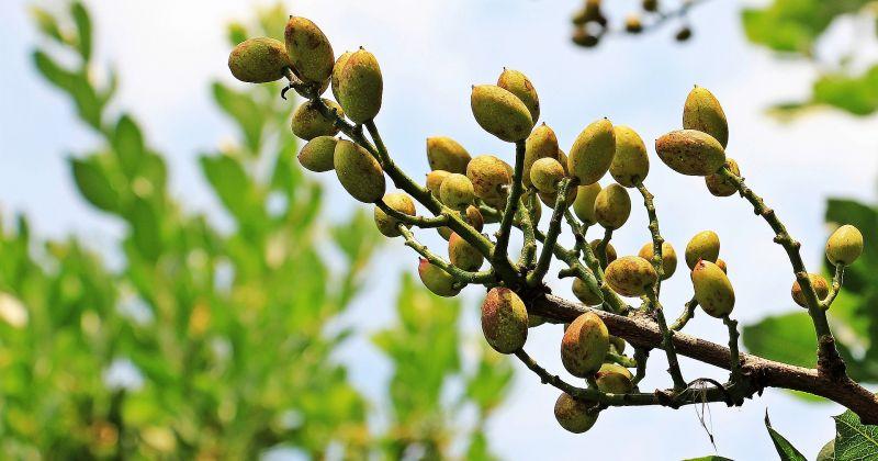 El pistacho