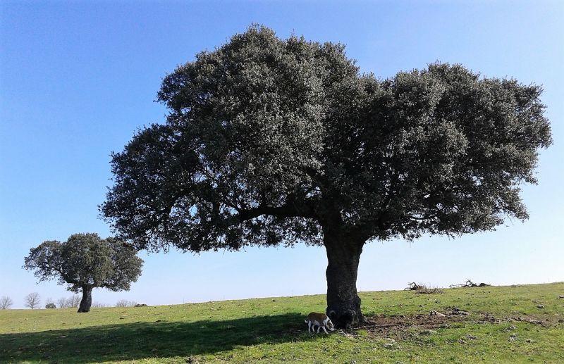 Encina caracter sticas h bitat fruto usos for Arboles con sus nombres y caracteristicas