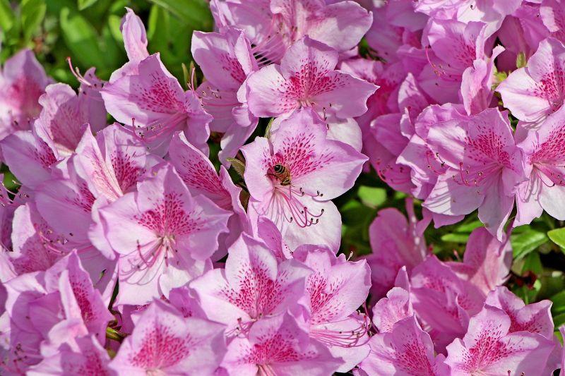 Azalea caracter sticas toxicidad cultivo cuidados - Azalea cuidados planta ...
