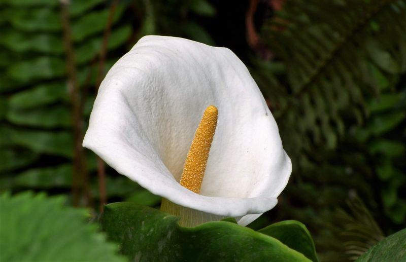 La cala Características, cultivo, cuidados, variedades Planta, flor