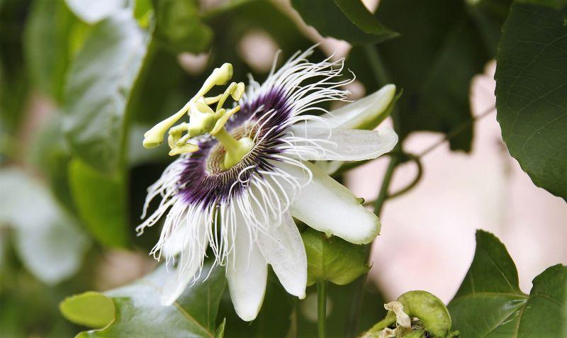 Maracuyá Características, propiedades, beneficios, flor, variedades