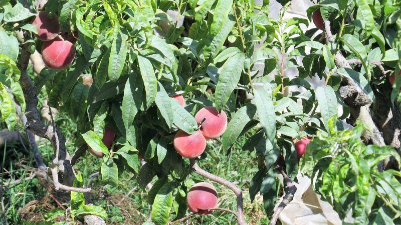 Nectarina Fruto, variedades, beneficios y propiedades, recolección Árbol