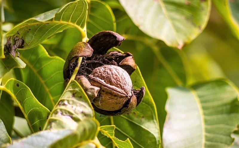 Nuez Características, tipos, cultivo, beneficios, propiedades Fruto seco