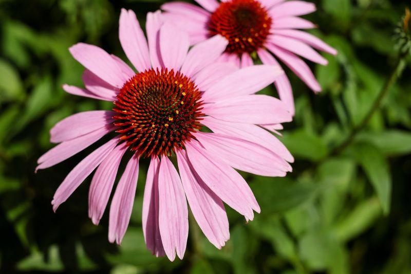 Equinacea Características, cultivo, cuidados, propiedades Planta, flor