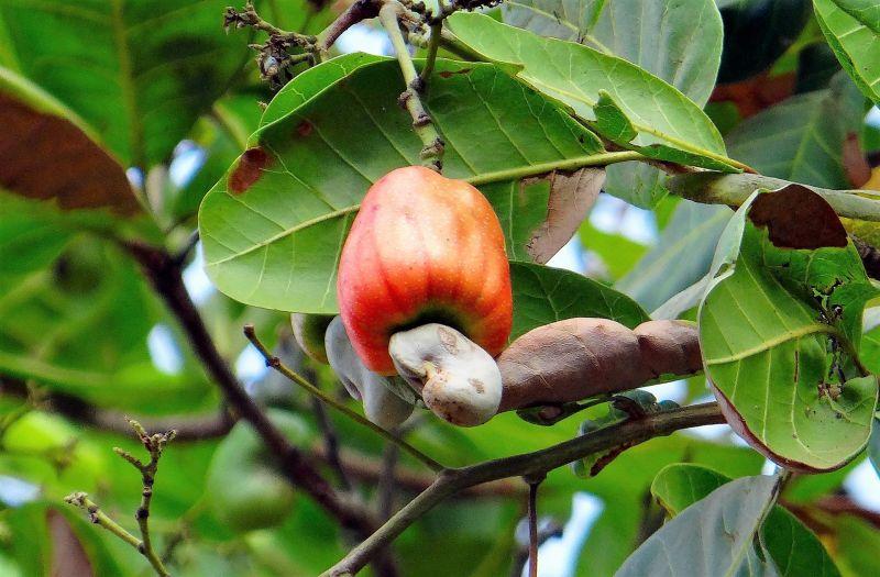 Anacardo Características, propiedades, beneficios, cultivo Árbol, fruto